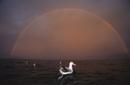 夜明けの虹を背景に海面で休むワタリアホウドリ(亜種)の群れ