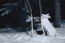 降雪の中、立ち上がって若木のやわらかい樹皮を噛むカンジキウサ