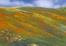 丘の斜面を埋め尽くすハナビシソウ(カリフォルニアポピー)の群
