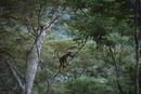 木を登るムリキ(ウーリークモザル)