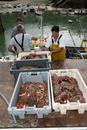 Crab fishing, fishermen landing Spiny Spider Crab (Maja squi