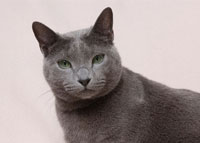 前を見つめるロシアンブルー 00101010135| 写真素材・ストックフォト・画像・イラスト素材|アマナイメージズ