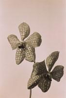 2輪のラン科のバンダの花(B&W)