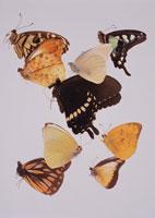 蝶 00243010170| 写真素材・ストックフォト・画像・イラスト素材|アマナイメージズ