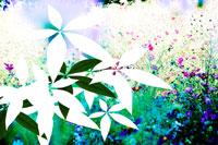 コスモスと葉の影