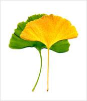緑と黄色のイチョウの葉