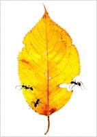黄色い枯葉と蟻
