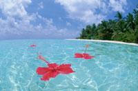 ハイビスカスとモルディブの海