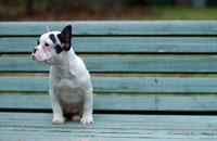 ベンチに座るフレンチブルドッグ