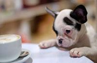 コーヒーを見るフレンチブルドッグ