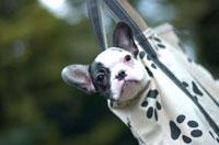 バッグに入るフレンチブルドッグの子犬