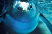泳ぐジェンツーペンギン