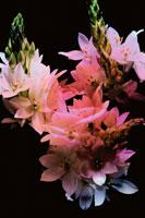 3輪のアリウムとバラ 合成 00493001021| 写真素材・ストックフォト・画像・イラスト素材|アマナイメージズ
