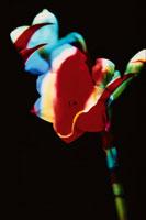 スイセンとグロリオーサの花 合成