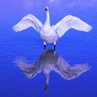 犀川白鳥湖で羽ばたく白鳥 豊科町 長野県
