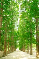 メタセコイアの並木 00545010126| 写真素材・ストックフォト・画像・イラスト素材|アマナイメージズ