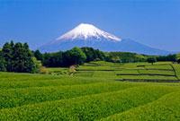 富士山と新茶の茶畑