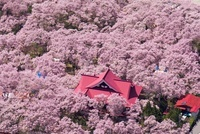 タカトウコヒガンザクラ咲く高遠城址公園の空撮