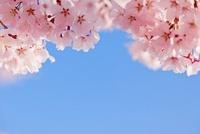 桜と青空 00545012489| 写真素材・ストックフォト・画像・イラスト素材|アマナイメージズ