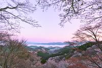 朝焼けの吉野山の桜と蔵王堂遠望 00545013057| 写真素材・ストックフォト・画像・イラスト素材|アマナイメージズ