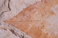 葉脈の有る葉の化石