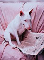 新聞を見るイヌ(ブルテリア)