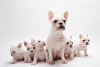 母犬と5匹のフレンチブルドッグの子犬