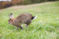 芝生の上を走るネザーランドドワーフ