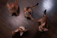 4匹のアビシニアンの子猫