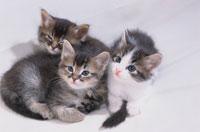 3匹のネコ 00642010164| 写真素材・ストックフォト・画像・イラスト素材|アマナイメージズ