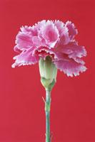 花(カーネーション) 00684010487| 写真素材・ストックフォト・画像・イラスト素材|アマナイメージズ