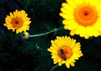 3輪の花と蜜蜂のアップ