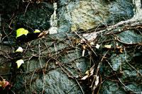 壁に這う枯れたツル植物 00693011399| 写真素材・ストックフォト・画像・イラスト素材|アマナイメージズ
