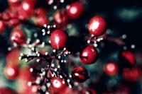 赤い実 00693011410| 写真素材・ストックフォト・画像・イラスト素材|アマナイメージズ