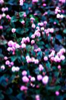 ピンクの花 00693011411| 写真素材・ストックフォト・画像・イラスト素材|アマナイメージズ