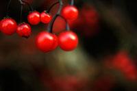 赤い実 00693011412| 写真素材・ストックフォト・画像・イラスト素材|アマナイメージズ