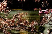 桜と不忍池