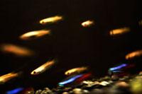 水槽の中で泳ぐ魚 00693011507| 写真素材・ストックフォト・画像・イラスト素材|アマナイメージズ