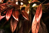 赤色の葉 00693011544| 写真素材・ストックフォト・画像・イラスト素材|アマナイメージズ