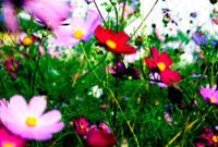 コスモス 00693011547| 写真素材・ストックフォト・画像・イラスト素材|アマナイメージズ