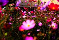 コスモス 00693011550| 写真素材・ストックフォト・画像・イラスト素材|アマナイメージズ