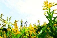 黄色の花 00693011554| 写真素材・ストックフォト・画像・イラスト素材|アマナイメージズ