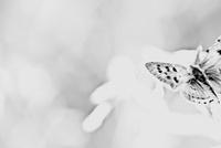 蝶 00693012076  写真素材・ストックフォト・画像・イラスト素材 アマナイメージズ