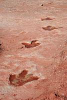 恐竜の足跡の化石