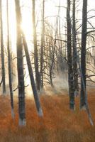 朝日が差し込む立ち枯れの木々
