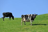 乳牛(ホルスタイン) 00724011519| 写真素材・ストックフォト・画像・イラスト素材|アマナイメージズ