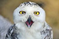シロフクロウ 00724012414  写真素材・ストックフォト・画像・イラスト素材 アマナイメージズ