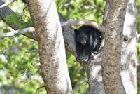 アメリカクロクマの子熊 00724012493| 写真素材・ストックフォト・画像・イラスト素材|アマナイメージズ