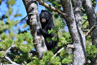 アメリカクロクマの子熊 00724012494| 写真素材・ストックフォト・画像・イラスト素材|アマナイメージズ