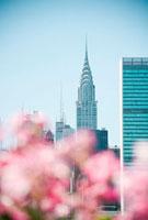 ピンクの花とマンハッタン高層ビル群